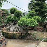 造型榕樹盆景 包石榕 怪根