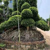 福建造型榕樹盆景 包石榕 怪根