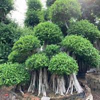 漳州哪里有賣造型榕樹盆景 包石榕 怪根