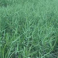大量出售芦苇、芦苇价格、芦苇图片、芦苇种植基地