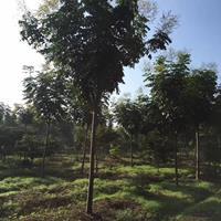 大量出售黃山欒樹、黃山欒樹批發、黃山欒樹價格,圖片