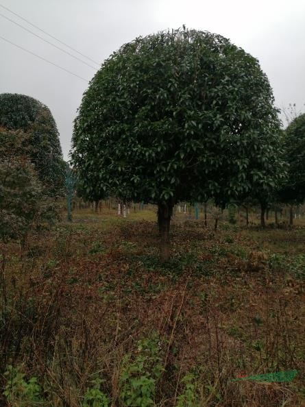 广西全州波仔苗木种植基地