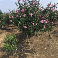 大量出售木槿地徑(米徑)2公分、5公分、8公分等等