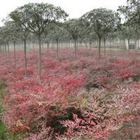 南天竹大量出售、南天竹種植基地、南天竹價格,圖片