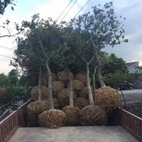 大量出售樸樹、樸樹圖片、樸樹價格、樸樹種植基地