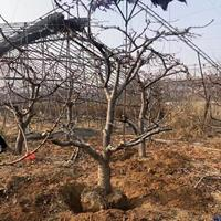 供应樱桃树·大规格樱桃树·地径15-20公分大规格樱桃树