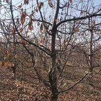 粗度20公分樱桃树价格·粗度25公分樱桃树报价·供应大樱桃树