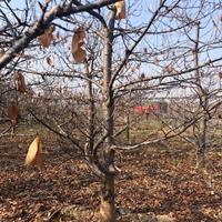 樱桃树·山西樱桃树·樱桃树产地批发·15-20公分大樱桃树