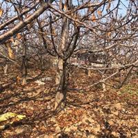 供应樱桃树·山西运城樱桃树基地·樱桃树批发零售价格
