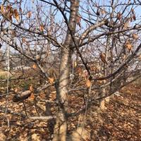 樱桃树种植基地·绿化樱桃树·10-20公分樱桃树产地价格