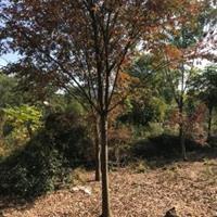 榉树   15公分