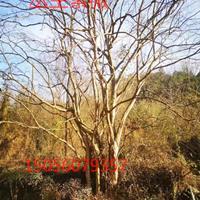 安徽地區供應8-25公分紫薇