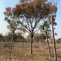 安徽地區供應8-25公分欒樹