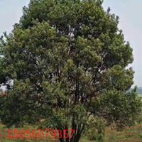 安徽地区供应40-200公分丛生香樟