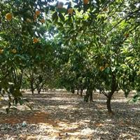 江西大量供应大小规格胡柚    胡柚价格欢迎来电