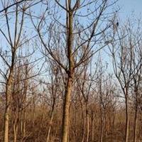 红叶石楠 重阳木 香樟 乌桕 三角枫 金桂 榔榆 红榉 朴树