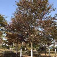 江苏沭阳榉树