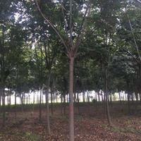 江蘇沭陽欒樹