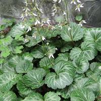 沭阳卉友苗木优质地被植物虎耳草小苗 量大价格优惠