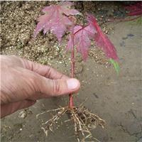 金陵紅楓基地種植 量大價優 別名金陵紅三角楓