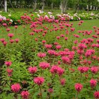 沭陽卉友苗木大量多年生草本植物美國薄荷小苗量大價格優惠