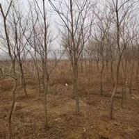 乌桕树产地 乌桕树行道树报价 绿化苗木批发