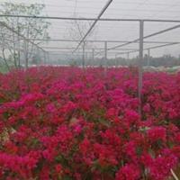 长期大量供应60cm~150cm水红、大红、紫色三角梅
