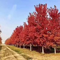 2020年山東8-20公分美國紅楓新報價 秋火焰紅楓 濟寧美國紅楓價格