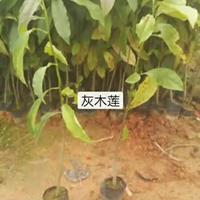 广东大量灰木莲哪里好/哪家便宜