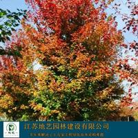 美国红枫大量出售、美国红枫价格、美国红枫图片,种植基地