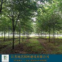 常年供应米径(胸径)5公分、8公分、12公分、15公分榉树