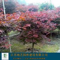 大量出售日本红枫、日本红枫基地、日本红枫图片,价格