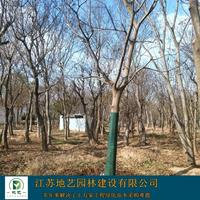 大量出售朴树、朴树图片、朴树价格、朴树种植基地