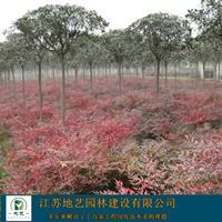 南天竹大量出售、南天竹种植基地、南天竹价格,图片
