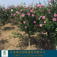大量出售红花木槿木槿地径(米径)2公分、5公分、8公分等等