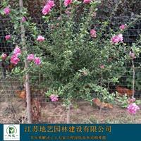 大量出售木槿地径(米径)2公分、5公分、8公分等等