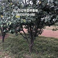 杏树结果年限是多年?杏树几年、直径多少公分才是盛果期?