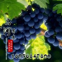 葡萄苗價格 葡萄苗種植技術及簡介 苗圃直銷葡萄苗