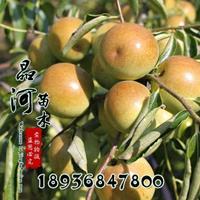冬枣蜜枣哪里多 占地枣树苗多少钱一颗  冬枣苗产地
