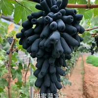 新品種甜蜜藍寶石批發 葡萄苗基地直銷 占地葡萄苗大量