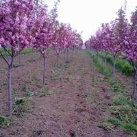 供应/美人梅、黄金槐、红叶小檗、