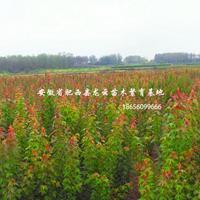 安徽肥西三角楓小苗 烏桕小苗 當年小苗H80-120cm
