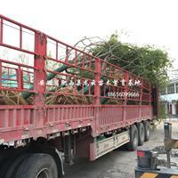 安徽朴树 榔榆 黄连木 重阳木 乌桕 三角枫 优质供应商