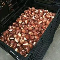 供应进口郁金香种球(自然球)【江苏绿康态种业有限公司】