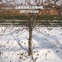 供应直径10厘米毛桃树,高度3.5米,冠幅3米毛桃树基地详情