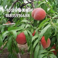 山西毛桃树,8.7.6公分毛桃树价格,特价毛桃树,运城桃树