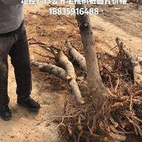 毛桃树有哪些·毛桃树品种介绍·毛桃树有哪些新品种