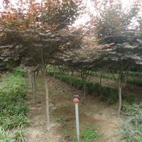 红枫价格_红枫图片_红枫绿化苗木苗圃基地