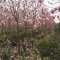 红玉兰价格_红玉兰产地_红玉兰绿化苗木苗圃基地