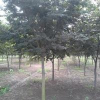 櫸樹價格_櫸樹圖片_櫸樹產地_櫸樹綠化苗木苗圃基地